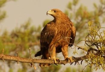 Eagles and Bluethroats!