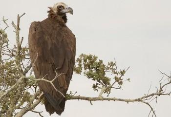 Las águilas imperiales de la Sierra Oeste