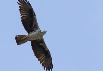 Raptors galore in the dehesas