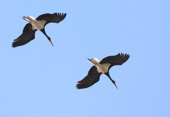 Aves del río Cofio y La Aceña II