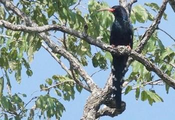 Foto de Abubilla arbórea verde