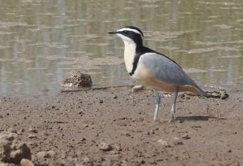Foto de Pluvial egipcio