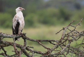 Foto de Uganda 2019: Buitre palmero