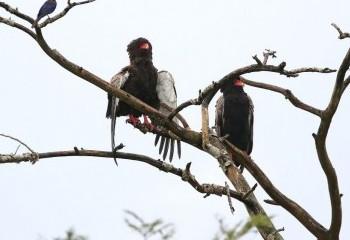 Foto de Uganda 2019: Águilas volatineras