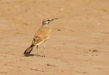 Foto de Alondra ibis