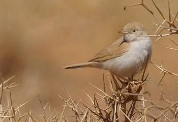 Foto de Curruca sahariana