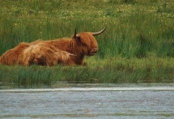 Foto de Vacas highlandesas