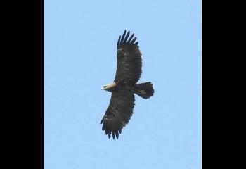 Foto de Águila pomerana