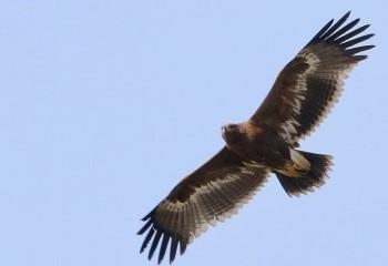Foto de India 2019: Águila esteparia