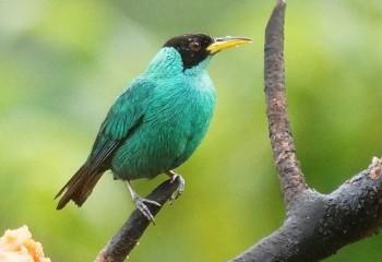 Foto de Mielerito verde