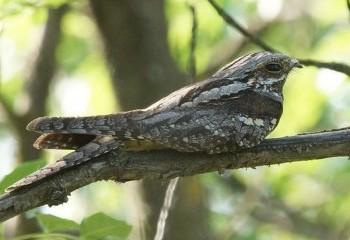 Foto de Chotacabras gris