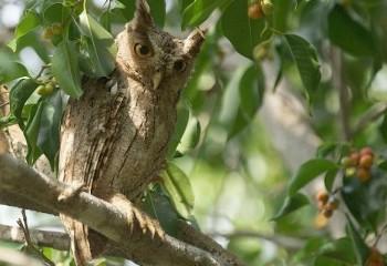 Foto de Autillo de manglar