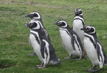 Foto de Pingüinos de Magallanes