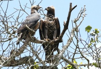 Foto de African Crowned Eagles, male and female