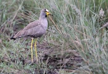 Foto de African Wattled Lapwing
