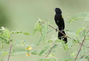 Foto de Yellow-mantled Widowbird