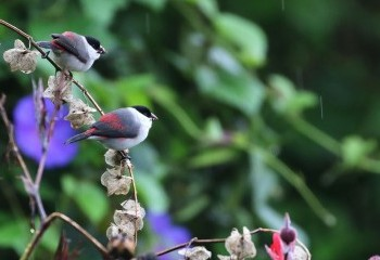 Foto de Black-crowned Waxbills