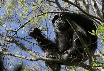Foto de Chimpanzee