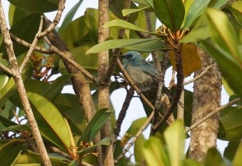 Foto de Elminia azul
