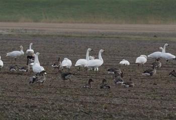 Foto de Cisnes chicos y ánsares campestres
