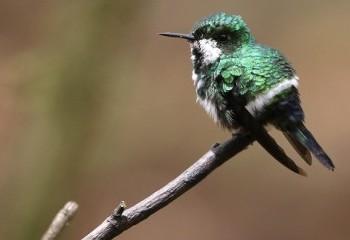 Foto de Costa Rica 2019: Rabudito verde
