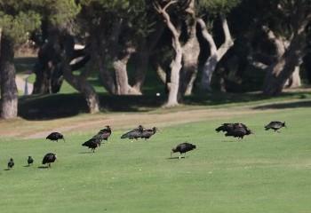 Foto de Bald Ibis in a golf course!