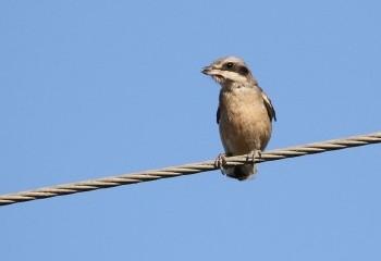 Foto de Juvenile Iberian Shrike