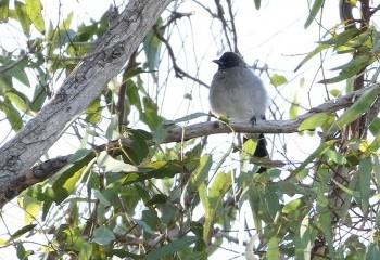 Foto de Common Bulbul in Tarifa