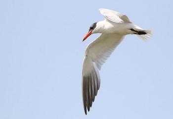 Foto de Caspian Tern in Barbate marshes