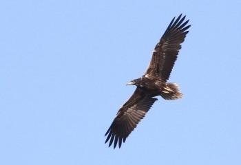 Foto de Juvenile Egyptian Vulture