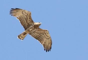 Foto de Short-toed Eagle