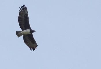 Foto de Águila marcial