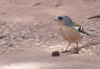 Foto de Pinzón vulgar ssp. africana