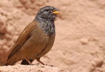 Foto de Escribano sahariano
