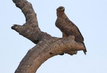 Foto de Uganda 2019: Águila de Wahlberg