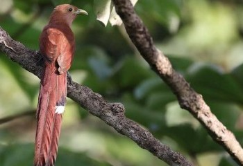 Foto de Costa Rica 2018: Cuco ardilla