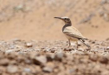 Foto de Marruecos 2018: Alondra ibis