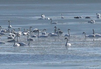 Foto de Cisnes vulgares