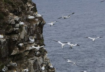 Foto de Alcatraces en Troup Head
