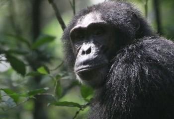 Foto de Chimpancé en Kibale