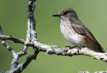 Foto de Spotted Flycatcher