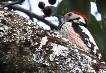 Foto de Middle-spotted Woodpecker