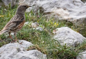 Foto de Alpine Accentor