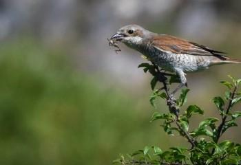 Foto de Red-backed Shrike (female)