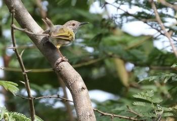 Foto de Camaróptera baladora