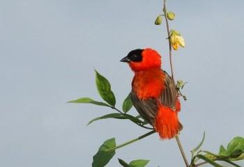 Foto de Obispo anaranjado
