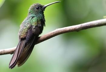 Foto de Costa Rica 2019: Colibrí patirrojo
