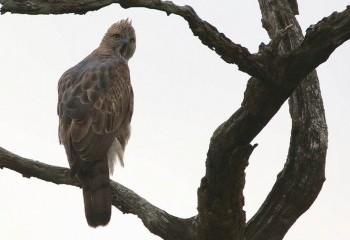 Foto de India 2019: Águila variable