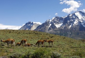 Foto de Guanacos en Torres del Paine