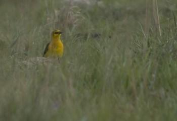 Foto de Tordo amarillo